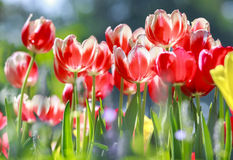 These tulips are stretched to welcome spring sunshine Stock Images