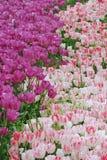 Tulips in summer Stock Photos