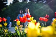 Tulips in the summer in the arboretum royalty free stock image