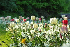 Tulips in the sun Royalty Free Stock Images