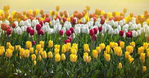Tulips in the sunlight Stock Photography