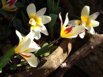 Tulips in sunlight Stock Photos