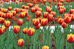 Tulips in sunny day in parks, outdoors Stock Images