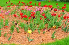 Tulips in sunny day in parks, outdoors Stock Image