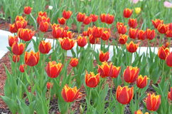 Tulips in sunny day in parks, outdoors Stock Photography