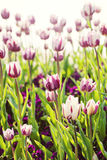 Tulips in sunny day Stock Photos