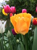 Tulips in sunny garden. Close up of colorful tulips in sunny garden Royalty Free Stock Images