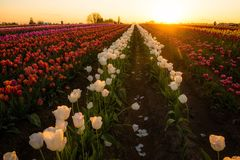 Tulips at sunrise stock photography