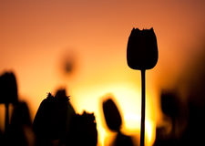 Tulips at Sunset Royalty Free Stock Photo