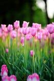 Tulips at sunset Stock Photo
