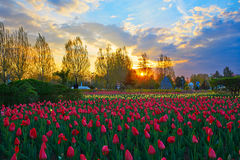 The tulips of sunset glow Stock Photography