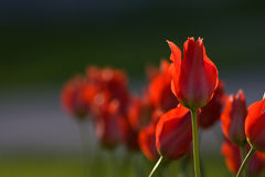 Tulips in sunshine. Against light Stock Photography
