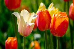 Tulips in sunshine Royalty Free Stock Photos
