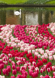 Tulips and swan Stock Image