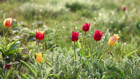 Tulips swaying in the wind stock footage