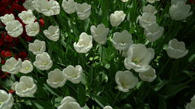 Tulips swaying the wind top view. Outdoors stock footage
