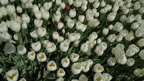Tulips swaying the wind top view. Outdoors stock video