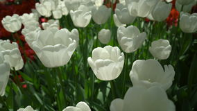 Tulips swaying the wind top view stock video footage