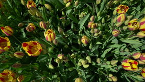 Tulips swaying the wind top view. Outdoors stock video footage