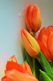 Tulips, symbol of Holland. Beautiful fresh tulips, symbol of Holland, Europe Stock Photography