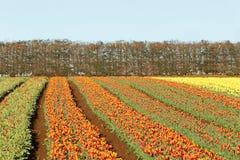 Tulips Table Cape Tasmania Stock Photography