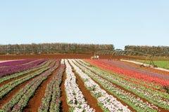 Tulips Table Cape Tasmania Stock Photos