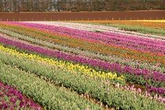 Tulips Table Cape Tasmania Stock Photo