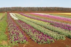 Tulips Table Cape Tasmania Royalty Free Stock Photo