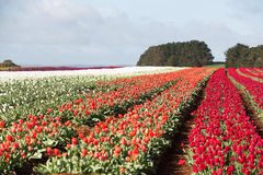 Tulips Table Cape Tasmania Royalty Free Stock Images