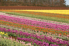 Tulips Table Cape Tasmania Royalty Free Stock Photos