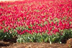Tulips Table Cape Tasmania Royalty Free Stock Photography
