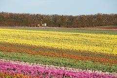 Tulips Table Cape Tasmania Stock Images