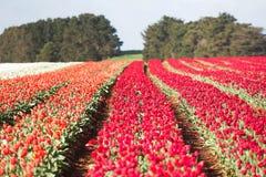 Tulips Table Cape Tasmania Royalty Free Stock Image