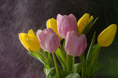 Tulips. Taken in Studio conditions shooting under the water spray Stock Photo