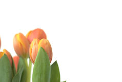 Tulips with Text Area Royalty Free Stock Photography