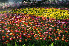 Tulips texture garden Stock Image