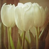 Tulips with Texture II Stock Photography