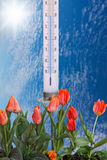 Tulips And Thermometer Royalty Free Stock Photo
