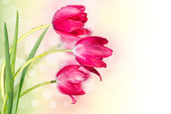Tulips. Three tulips on the abstract background with bokeh Royalty Free Stock Photo