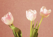 Tulips. Three delicate pale pink tulips Royalty Free Stock Photos