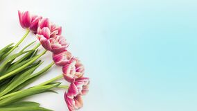 Tulips. Timelapse of bright pink striped colorful tulips flower blooming on white background. Time lapse tulip bunch of