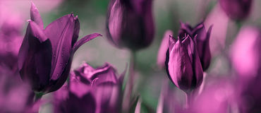 Tulips tinted in shades of deep purple and grey green Royalty Free Stock Photos