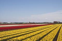 Tulips to the horizon Royalty Free Stock Photos