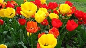 Tulips in Town Garden Stock Photo