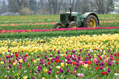 Tulips and Tractor. In a field Royalty Free Stock Photography