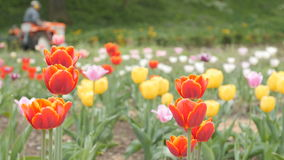 Tulips with Tractor. Day stock video