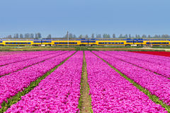 Tulips train symetrie Royalty Free Stock Photos