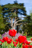 Tulips with tree in background. Foreground of tulips with other flowers and trees in the background Royalty Free Stock Photos