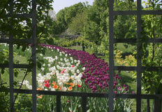 Tulips And Trellis, Pastoral Scene Stock Photography
