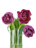 Tulips trio bouquet closeup details in glass vase Stock Photo